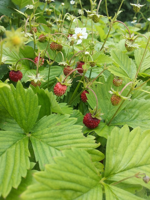 wild-strawberry-1002857_640