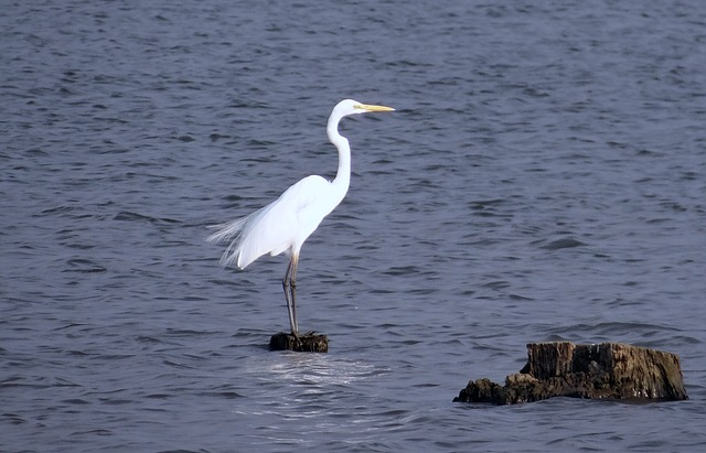 great-egret-317568_640