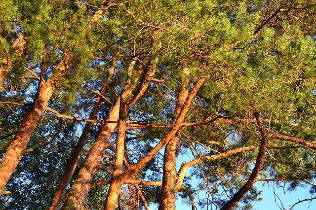 pine-1204032_640