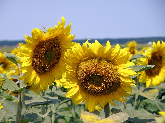 sunflower-1146375_640