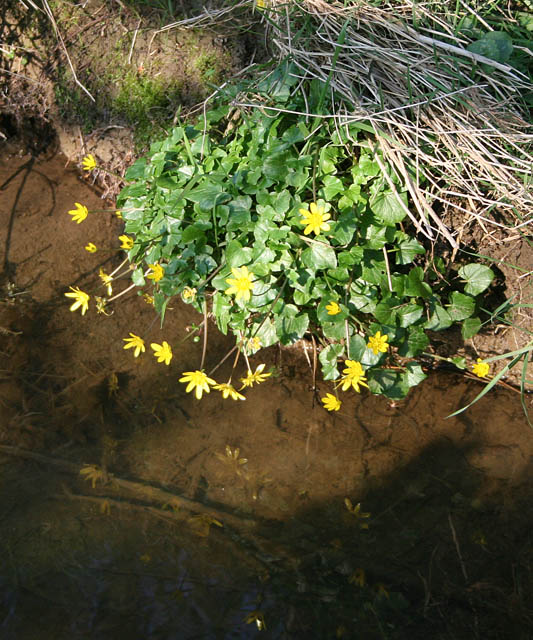 Celandines_on_the_edge_-_geograph.org.uk_-_384831