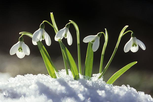 SpringSnowdrop